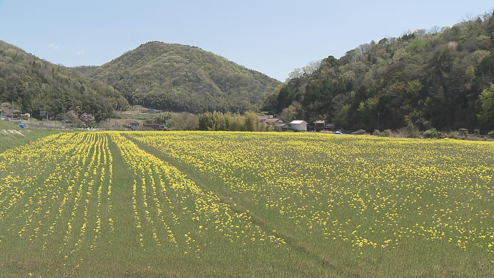 黄色に染まった菜の花畑で復興を【地球派宣言】