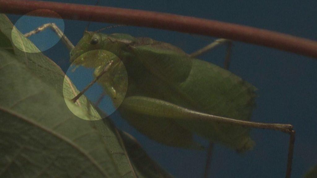 秋に鳴く虫の耳は前足にあるんです