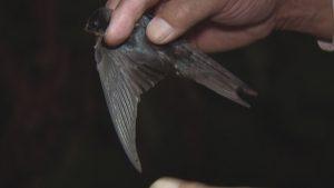 特徴のある長い風切り羽