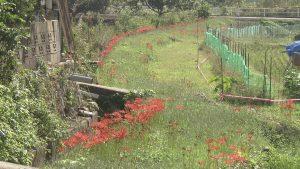 ヒガンバナの咲く畑の畦道