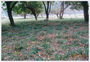 葉を出したヒガンバナ:【撮影:小田正則さん】