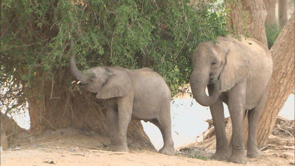 食事をするアフリカゾウの親子