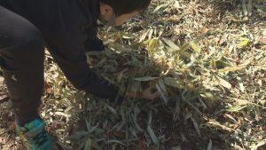 枯れ葉をコナラの根元へ