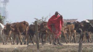 国立公園内でエサを求める家畜の群れ
