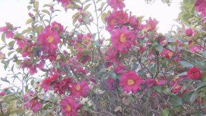 観音寺に咲くサザンカ