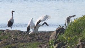 ヒナを狙うカラスを追い払う親鳥