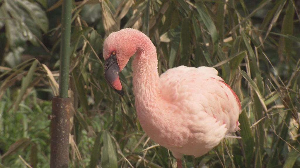フラミンゴの羽はどうしてピンク色?