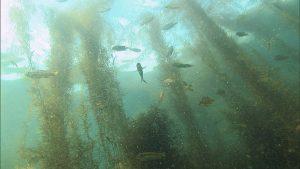 ホンダワラの間を泳ぐ魚たち