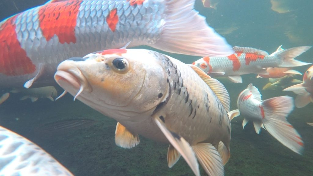 小西養鯉場の錦鯉