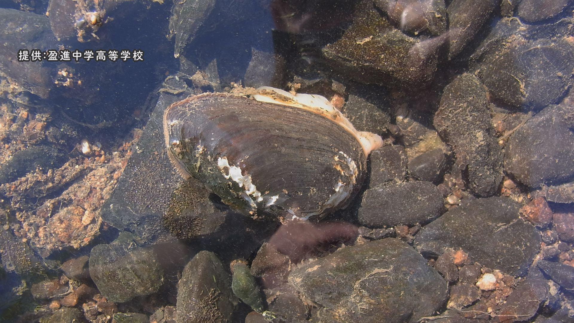 イシガイなどの二枚貝に卵を産み付ける(画像提供:盈進中学高等学校)