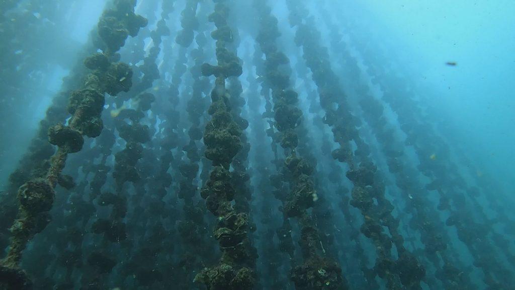 海の貧栄養化が牡蠣にも影響