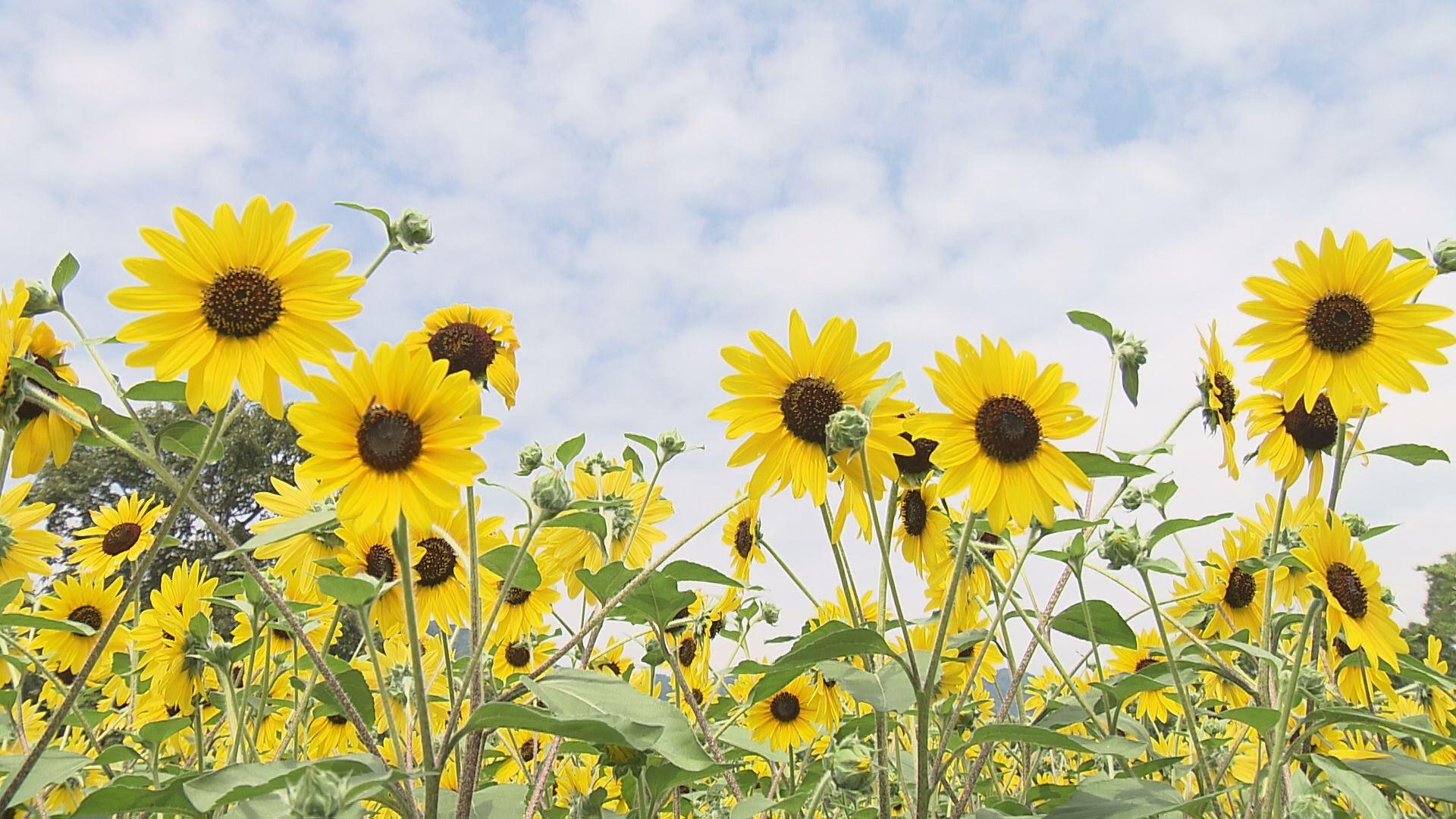夏を代表する花「ヒマワリ」