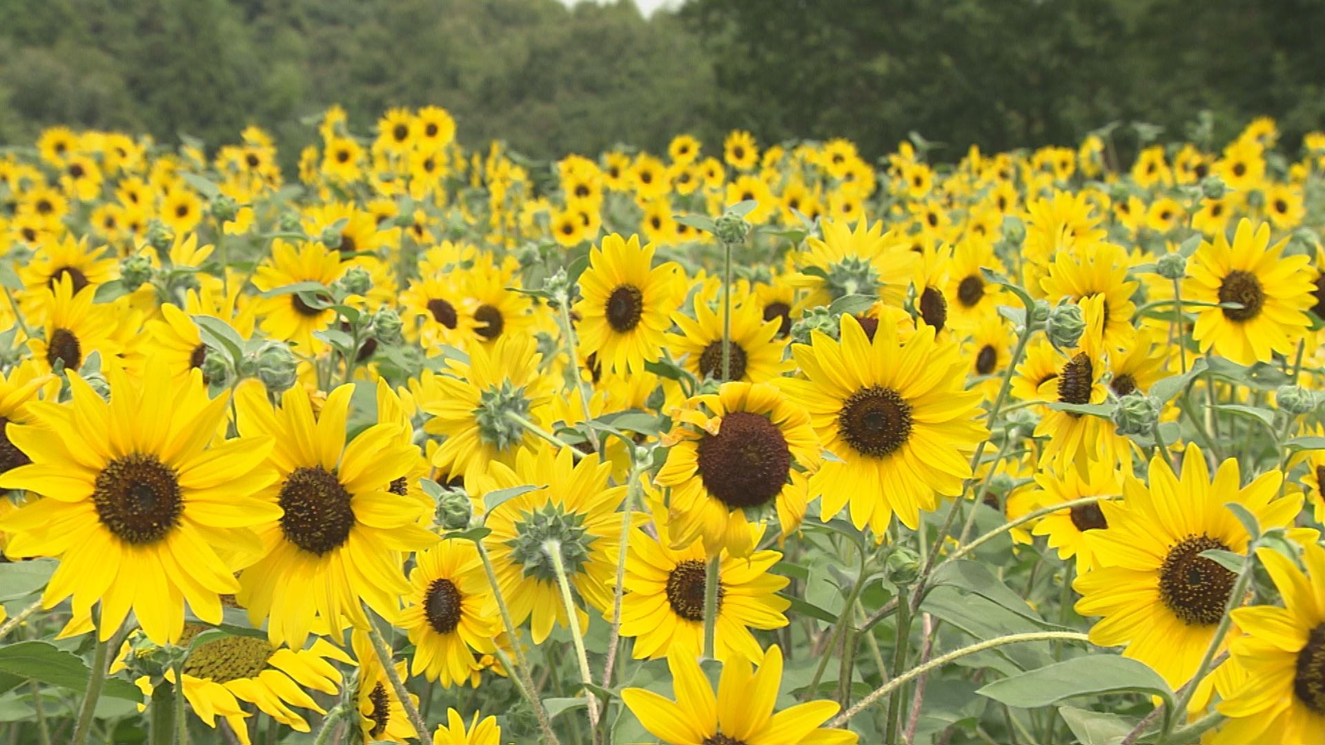 太陽に花の顔を向けて咲く