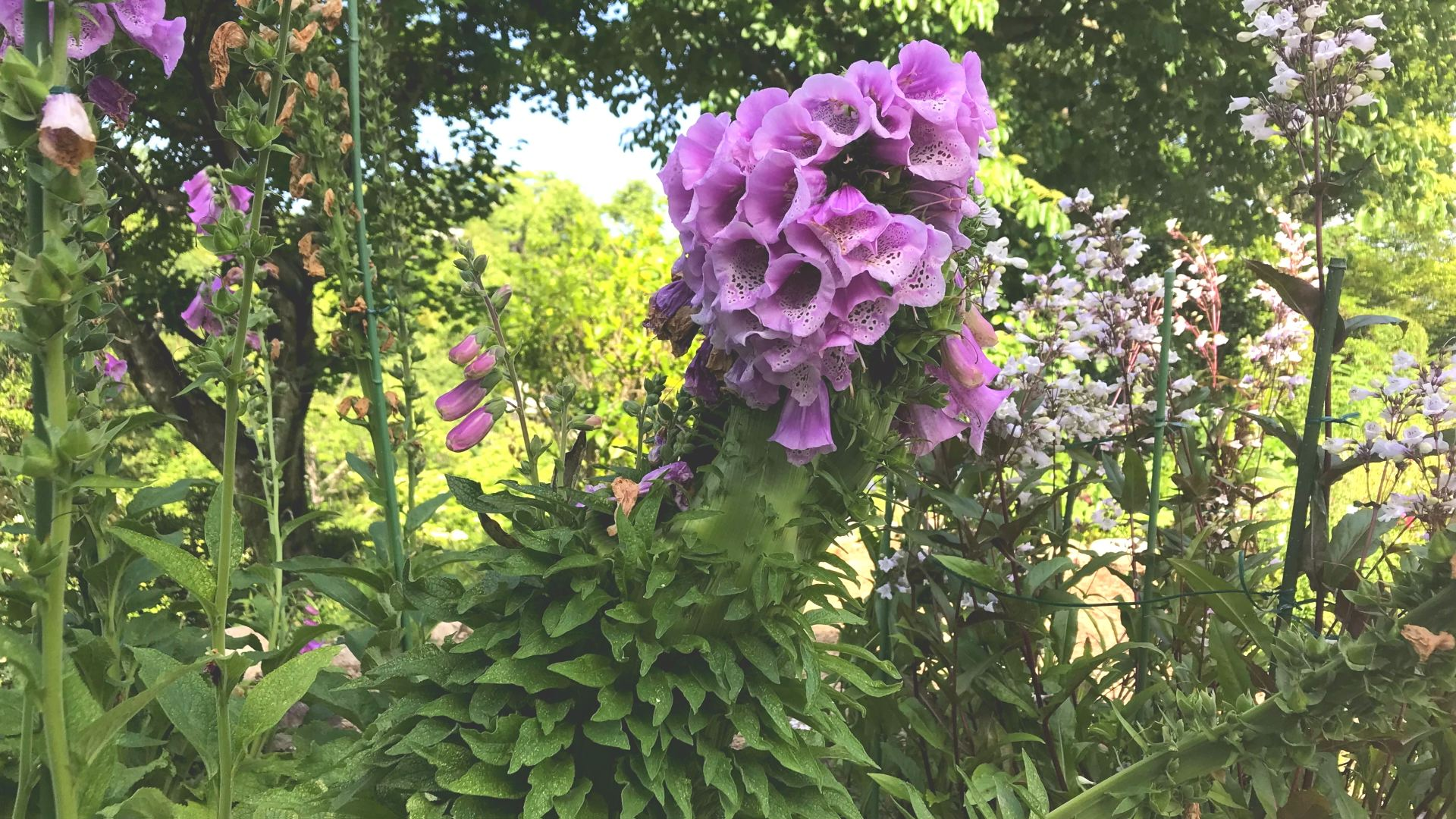 帯化したジギタリス (画像提供 広島市植物公園)