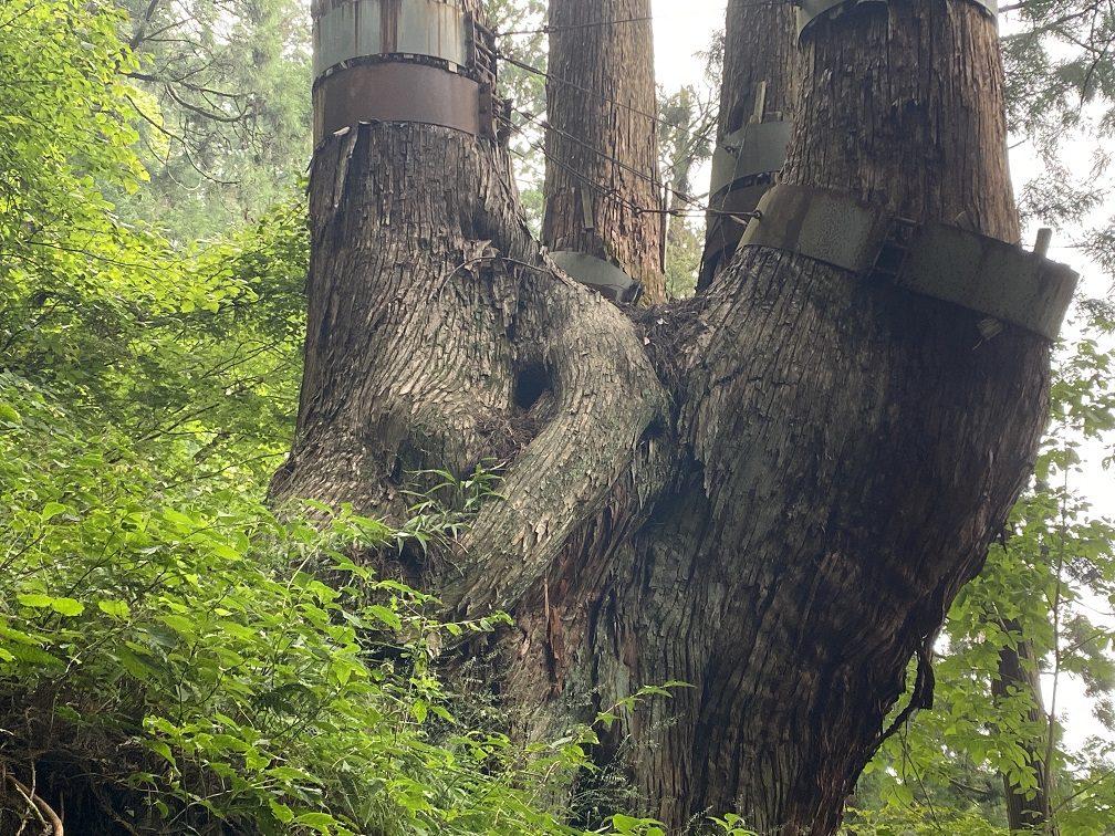 根元のアップ。根の保護のため近くには寄れない
