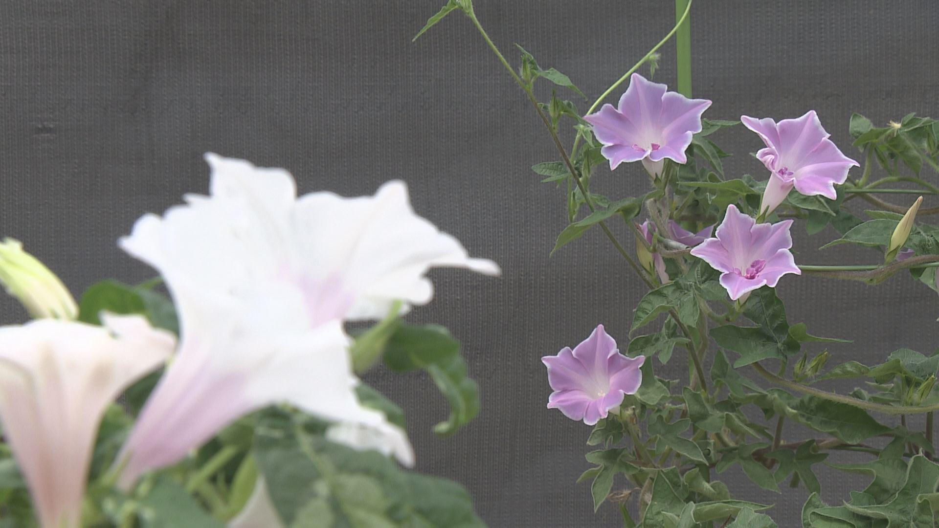 花びらの形が変化した朝顔