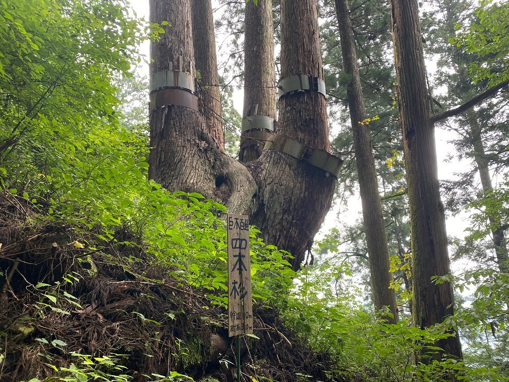 やっと会えた四本杉。根元で一体になっている