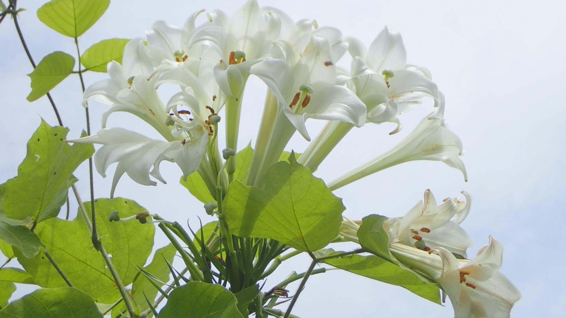 1本の茎からたくさんの花が(要クレジット)